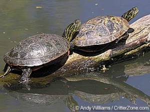 The popular painted turtle